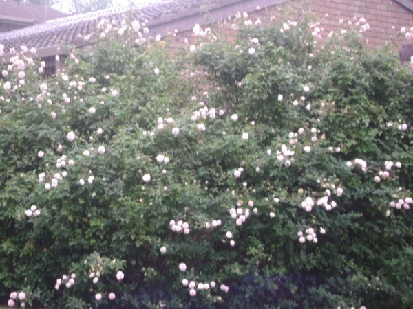 Neighbour's roses